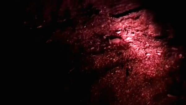 San Vincenzo, la nascita delle tartarughine: il video sulla spiaggia di Rimigliano