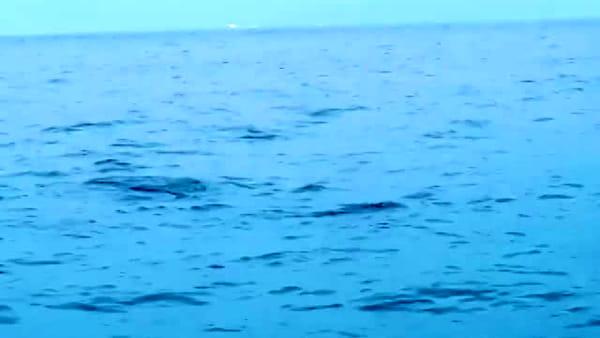 Isola d'Elba: delfini nel golfo di Procchio, turisti incantati dallo spettacolo. Video