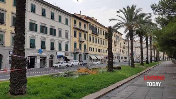 palma abbattuta viale italia  (4)-2