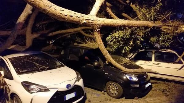 Il crollo di un pino secolare a Marciana Marina (Isola d'Elba)